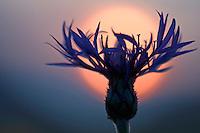 Centaurea montana; Mountain cornflower, Malbun, Liechtenstein