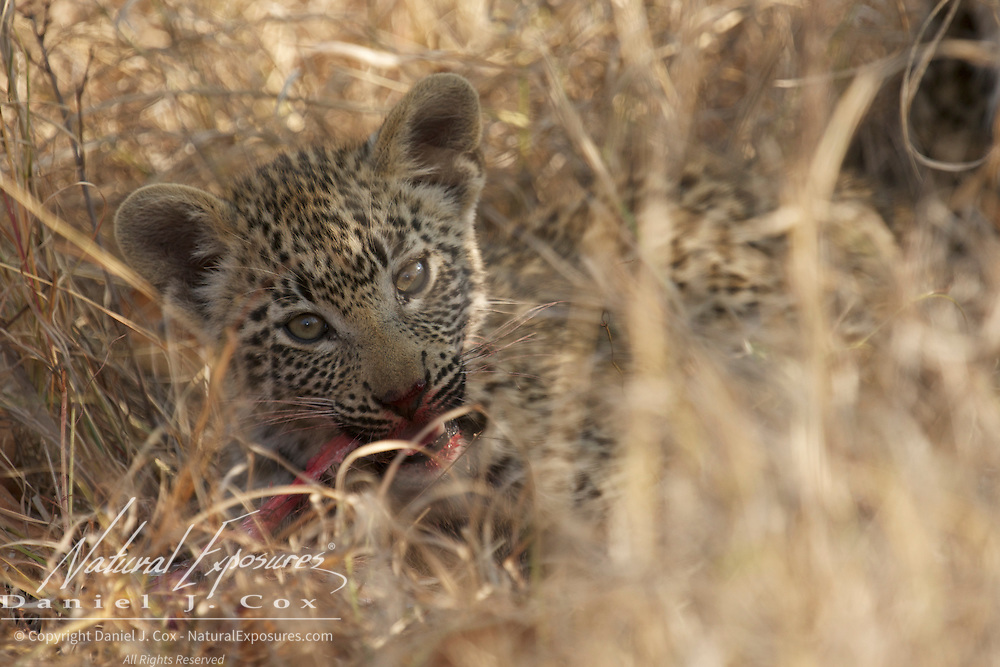 Young leopard cub feeding on mothers recent kill. South Africa.