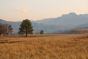 Tree in golden field, Drakensberg Mountains, South Africa.