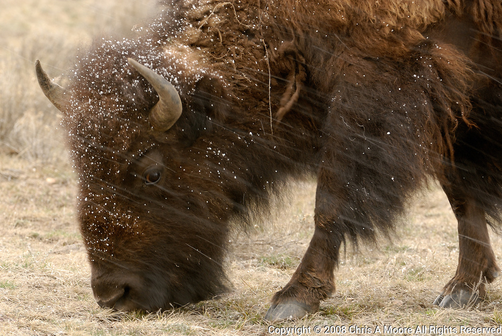 Buffalo in a spring snowstorm in the Slough Creek Drainage of Yellowstone National Park.