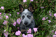 A 10-week-old Queensland Blue Heeler / Australian Cattle Dog puppy named Jazz.