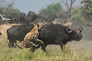 Lioness (Panthera leo) hunting buffalo (Syncerus caffer) <br /> Duba Plains area. Okavango Delta. BOTSWANA. Southern Africa.<br /> THIS BUFFALO HERD AND ITS LION INTERACTION HAS BEEN THE SUBJECT OF A NATIONAL GEOGRAPHIC DOCUMENTARY FILMED BY DEREK AND BEVERLEY JOUBERT.<br /> This herd is under constant stress with these lions stalking and hunting them on a regular basis. At night the buffalo sleep in a tight group with bulls on the outside and calves in the middle.  The lions face a row a horns and can not attack them. But in the morning when they get up and start moving to feed the lions start following them and look for an opportunity to attack either an old or injured adult or calf.
