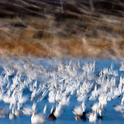 The liftoff of snow geese in Bosque del Apache National Wildlife Refuge.