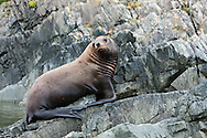 Steller Sea Lion resting in a rookery on Sail Island in Frederick Sound in the Inside Passage of Southeast Alaska. Summer. Afternoon.