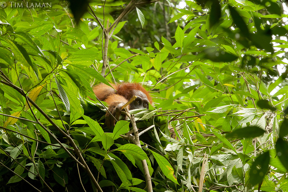 Bornean Orangutan <br />Wurmbii Sub-species<br />(Pongo pygmaeus wurmbii)<br /><br />Adult female Walimah, in her nest, leaning forward on a pillow of leafy branches she just made.<br /><br />Gunung Palung Orangutan Project<br />Cabang Panti Research Station<br />Gunung Palung National Park<br />West Kalimantan Province<br />Island of Borneo<br />Indonesia