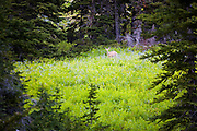 A black-tailed deer (Odocoileus hemionus columbianus) stands in flowering meadow in Okanogan National Forest, Washington.