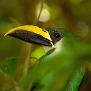 Emerald Toucanet (Aulacorhynchus prasinus), Belize Zoo, Belize, Central America