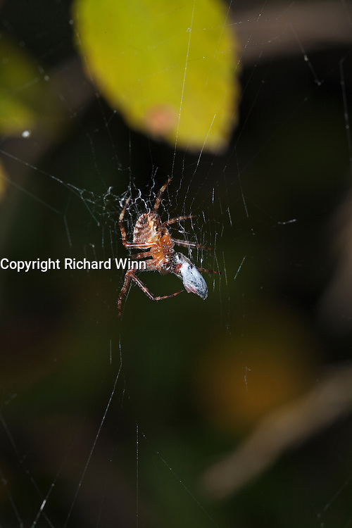 Garden spider in late evening, lit by flash, as it completes wrapping up a prey item.