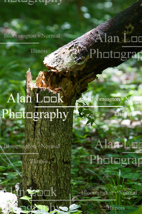 09 June 2012:   A splinter tree is held up slightly by another tree