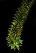 Wie heißt du? <br /> Araukarie (Araucaria araucana).<br /> <br /> Wo wohnst du? <br /> Ich lebe normalerweise in den chilenischen und argentinischen Anden. In Hamburg bin ich im Jenischpark zu Hause.<br /> <br /> Was magst du? <br /> Gut gedeihe ich auf humusreichen, gleichmäßig feuchten Böden mit geringem Kalkgehalt. Starke Sonneneinstrahlung mag ich nicht so gerne. Wenn ich alt bin, kann ich auch Minusgrade vertragen.<br /> <br /> Wann blühst du? <br /> Ich bin ein Nadelbaum. Im Juni lasse ich meine Pollen fliegen.<br /> <br /> Jenischpark in Othmarschen. Hamburg, Deutschland.  5.9.2017