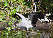 Typical Everglades scene Great White Egret and endangered species wood stork in glade, Florida, USA