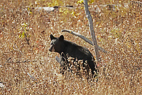 A young American Black Bear works its way along a hillside after spending the morning on the valley floor.