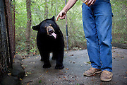Robbie Grumbles feeds honey to one of three of his bears he has raised since they were cubs on his property in Travelers Rest, South Carolina September 30, 2010. Mr. Grumbles uses these bears to train his dogs and other dog owners how to bear hunt safely.