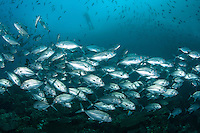 Schooling Bigeye Trevallies and Diver<br /> <br /> Shot in Indonesia