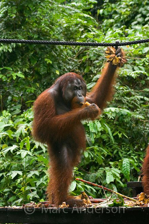 Male Orangutan (Pongo Pygmaeus) eating bananas, Sabah, Malaysia..