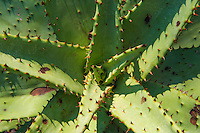 Aloe plant leaf detail, Somkhanda Private Game Reserve, KwaZulu Natal, South Africa