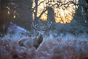 © Licensed to London News Pictures. 20/12/2014. richmond, UK Deer at sunrise in Richmond Park, West London, today 20th December 2014. Photo credit : Stephen Simpson/LNP