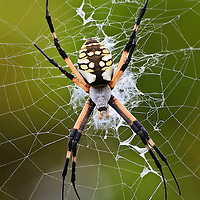 A close-up of a large female yellow garden spider (Argiope aurantia) in a web suspended approximately seven feet in the air, showing the stabilimentum in the center of the web, Back Bay National Wildlife Refuge, Virginia Beach, Virginia