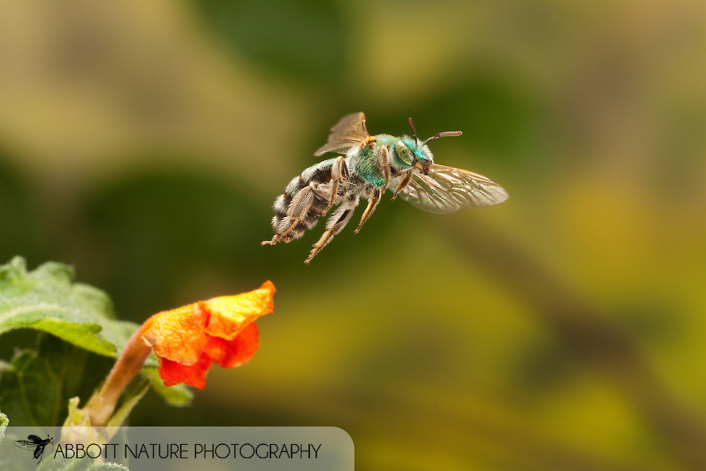 Metallic Green Bee (Agapostemon sp.) - female in flight<br /> TEXAS: Travis Co.<br /> Austin<br /> 30.March.2009<br /> J.C. Abbott