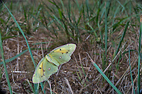 Butterfly-Clouded Yellow in flight (COLIAS CROCEA), Provence, France<br /> Insects in flight, high speed photographic technique, flying, wings, motion, insec Image by Andres Morya