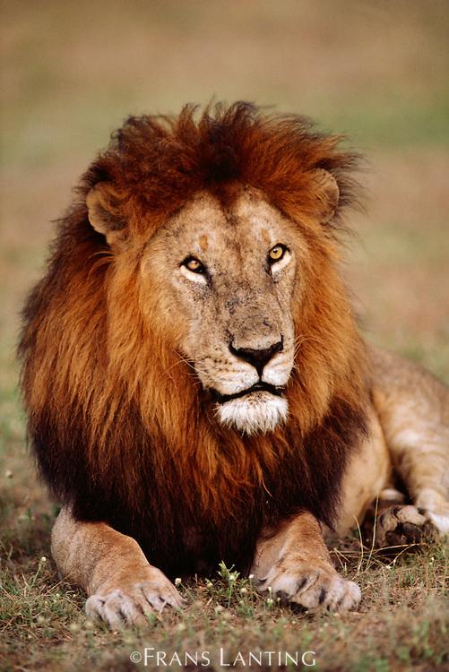 Male lion resting, Panthera leo, Masai Mara Reserve, Kenya