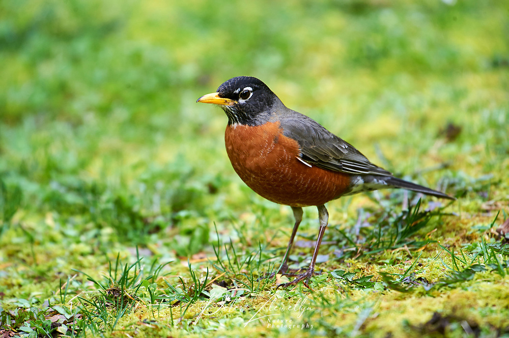American Robin (Turdus migratorius) ( looking for food in grass) Gabriola, British Columbia, Canada