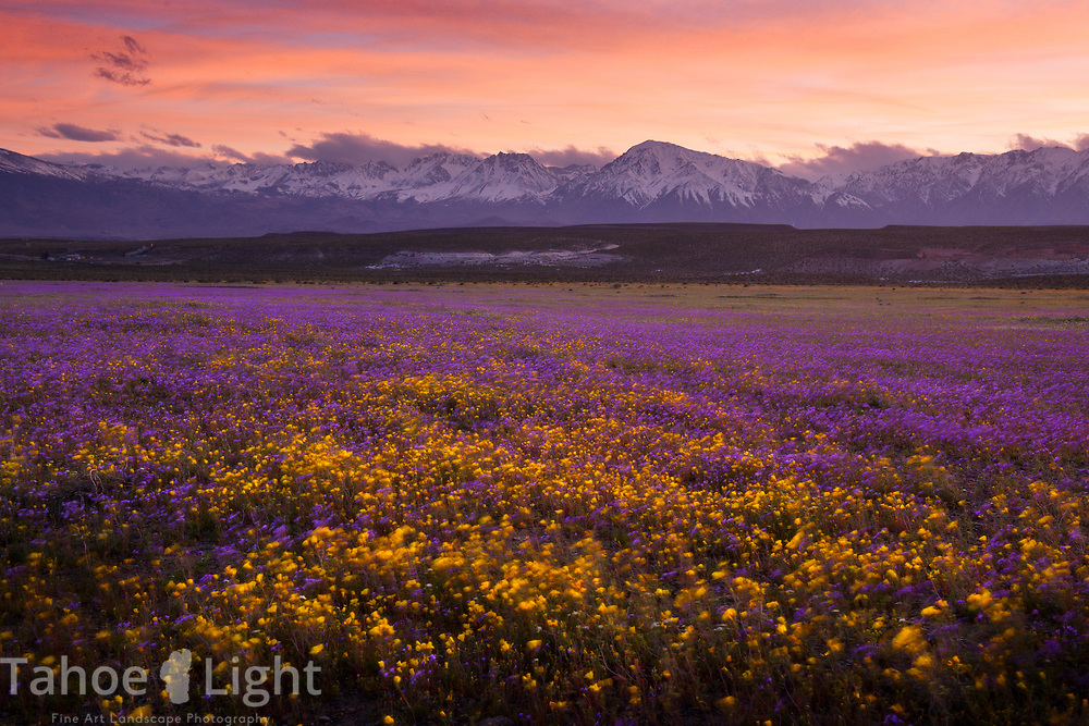 Majestic dreamlike field of purple and yellow wildflowers at sunset with the High Sierra mountains in the background just north of Bishop, California.