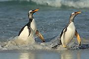 Eselspinguin (Pygoscelis papua) | Gentoo Penguin (Pygoscelis papua)