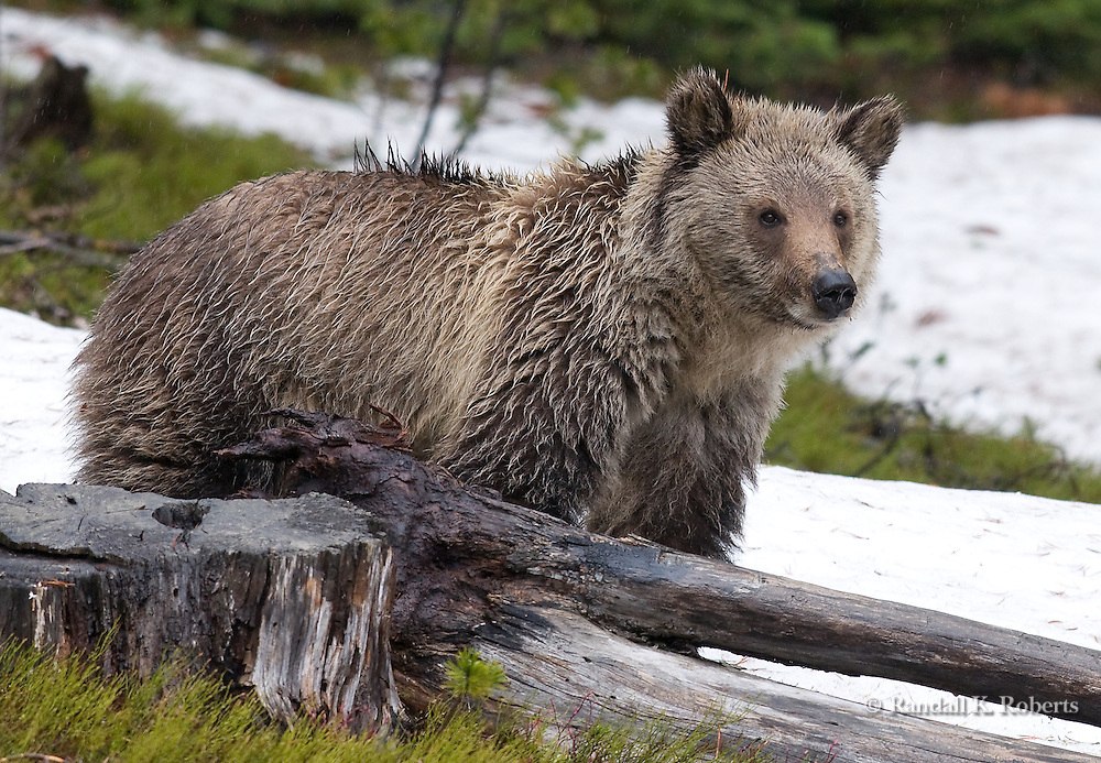 Young grizzly surveys the landscape on Mt. Washburn, Yellowstone National Park, Wyoming.
