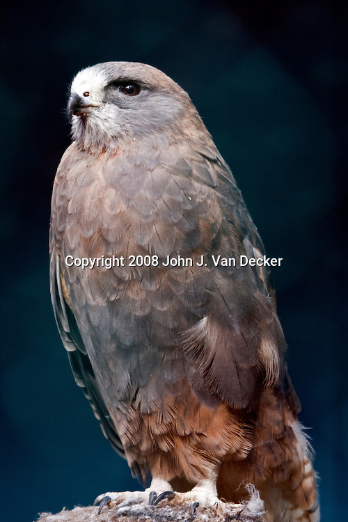 Swainson's Hawk...Photo taken at The Raptor Trust, one of the premier, privately funded wild bird rehabilitation centers in the United States. The Raptor trust is recognized as a national leader in the fields of raptor conservation and avian rehabilitation.