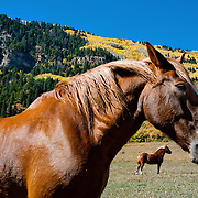 Horses and fall foliage near Hermosa, Colorado, along the Million Dollar Highway
