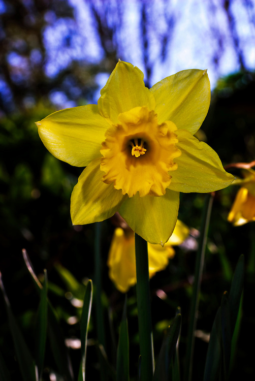 Daffodil, a spring sign.
