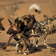 African wild dogs, feeding pups.