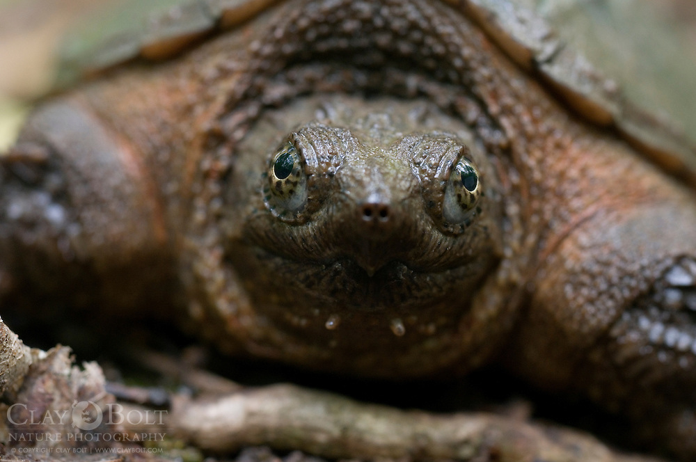 Chelydra serpentina, the Common Snapping Turtle, terrapin, water, reptile, shell, carapace, pond, wetland, ancient, cold blooded, claws, eyes, swim, mud, freshwater, eyes, south carolina