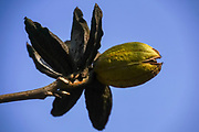 Pecan nut on a pecan tree blue sky background
