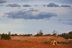 Red kangaroo  (Macropus rufus) sit on gibber plains against a dramatic stormy sky at sunset,  Sturt Stony Desert,  Australia