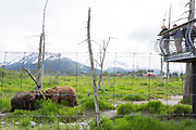 Brown bears at the Alaska Wildlife Conservation Center, Portage, Alaska<br /> <br /> Photographer: Christina Sjogren<br /> <br /> Copyright 2018, All Rights Reserved