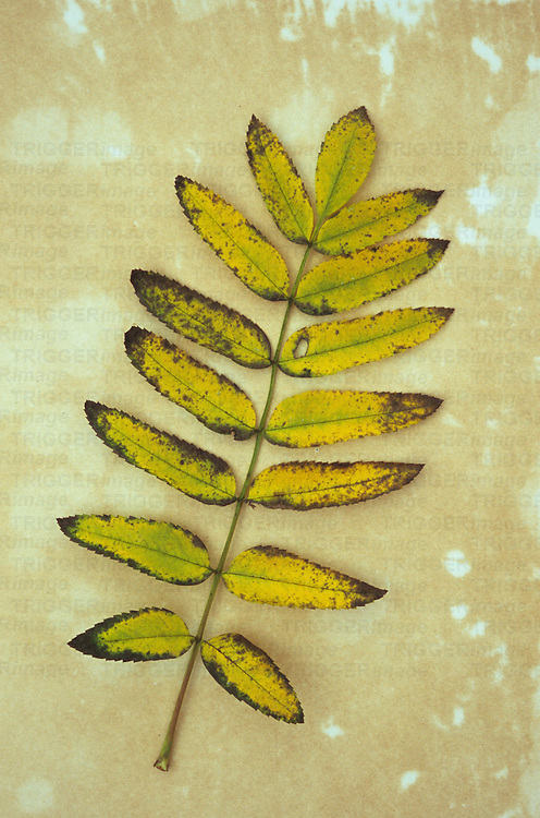 Single sprig of yellow autumn leaves of Rowan or Mountain ash or Sorbus aucuparia lying on antique paper
