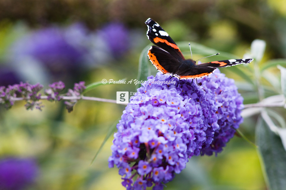 A Red Admiral butterfly rests on a flowering shrub in the summer sun