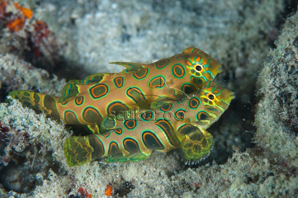 Picturesque Dragonet, Synchiropus picturatus, Courtship display, Semporna Straits, Sabah, Malaysia, Borneo.