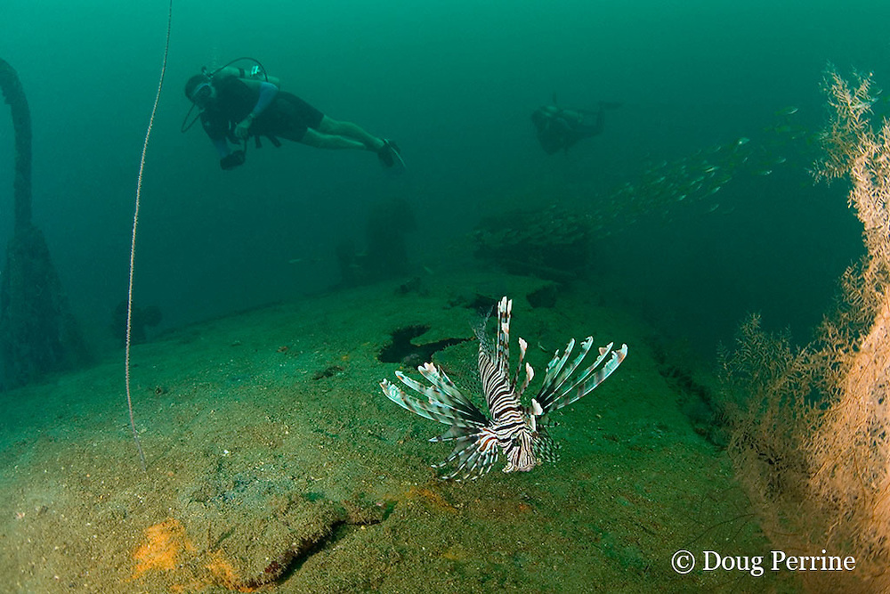 red lionfish, firefish, turkeyfish or butterfly cod, Pterois volitans, on the wreck of a 100 m long American LST ( Landing Ship - Tank ) sunk at the end of WWII. The wreck sits upright at a depth of 28-35 m of water in Ilanin Bay, within Subic Bay, Philippines, MR 379