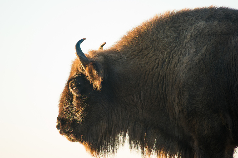 European bison (Bison bonasus) close-up side view