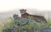 Mother cheetah and her cub.  Maasai Mara, Kenya.