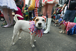 31 January 2016. New Orleans, Louisiana.<br /> Mardi Gras Dog Parade. A Jack Russell at the Mystic Krewe of Barkus as the parade winds its way around the French Quarter with dogs and their owners dressed up for this year's theme, 'From the Doghouse to the Whitehouse.' <br /> Photo©; Charlie Varley/varleypix.com