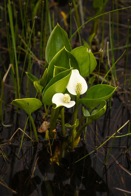Closeup of Wild Calla (Calla palustris) in Wrangell-St. Elias National Park in Southcentral Alaska. Summer. Afternoon.
