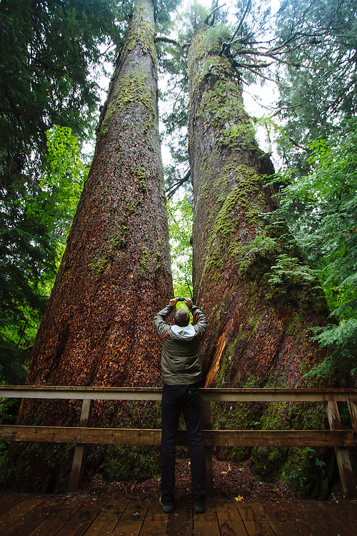 Visitor photographing giant Sitka Spruce trees along the Grove of the Patriarchs Trail. Mt. Rainier National Park, WA.