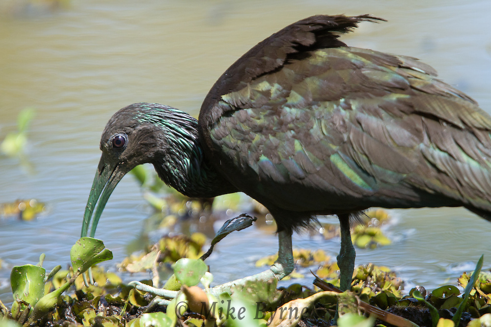 Green Ibis (Mesembrinibis cayennensis) wading in a Pantanal marsh near Araras Eco Lodge (Pantanal, Mato Grosso, Brazil)