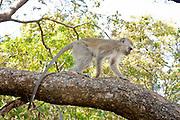 A juvenile vervet monkey (Chlorocebus pygerythrus) traversing a tree limb in Matobo National Park, part of the Motopos Hiils area in Zimbabwe. The park is an U.N. UNESCO World Hertiage Site. © Michael Durham / www.DurmPhoto.com