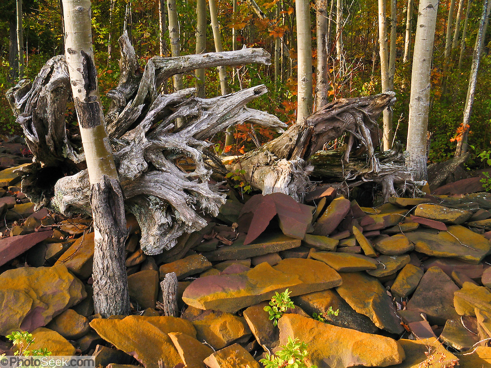 Birch trees grow and yellow lichen thrives on fractured bedrock exposed at wave sprayline along the Lake Superior shoreline, in Porcupine Mountains Wilderness State Park, Michigan, USA. The park was established in 1945 to protect the last large stand of uncut hardwood-hemlock forest remaining in the Midwest.