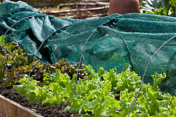 Lettuce 'Black Seeded Simpson' protected by a shading cloche